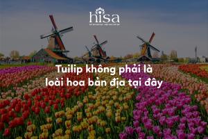 Tuilip không phải là loài hoa bản địa tại hà lan